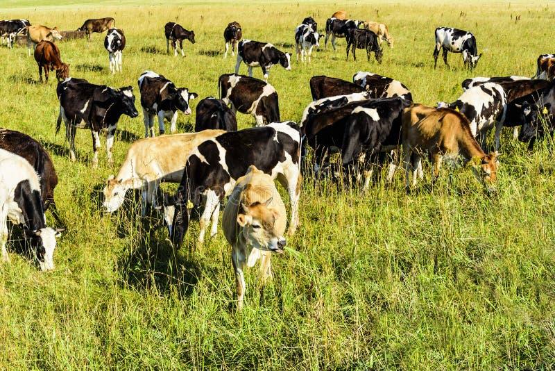 Un troupeau de jeunes vaches frôlant sur un champ vert dans un jour ensoleillé lumineux photographie stock libre de droits