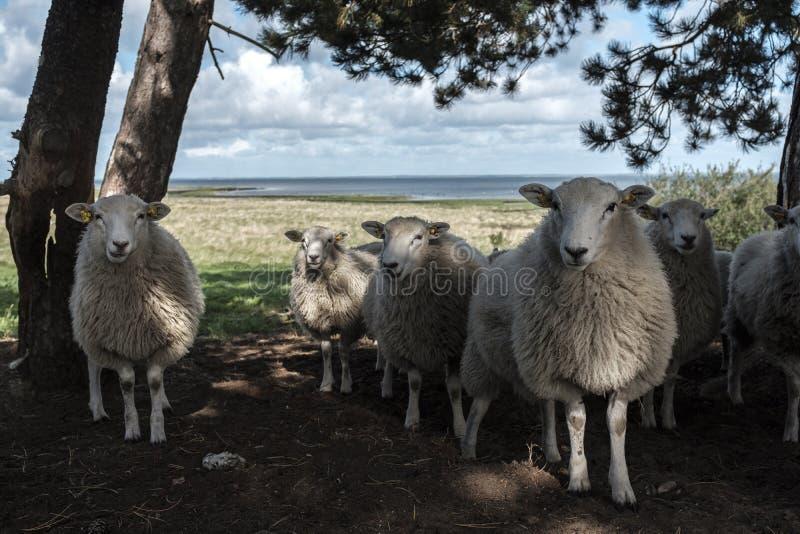 Un troupeau de moutons en nature photos stock