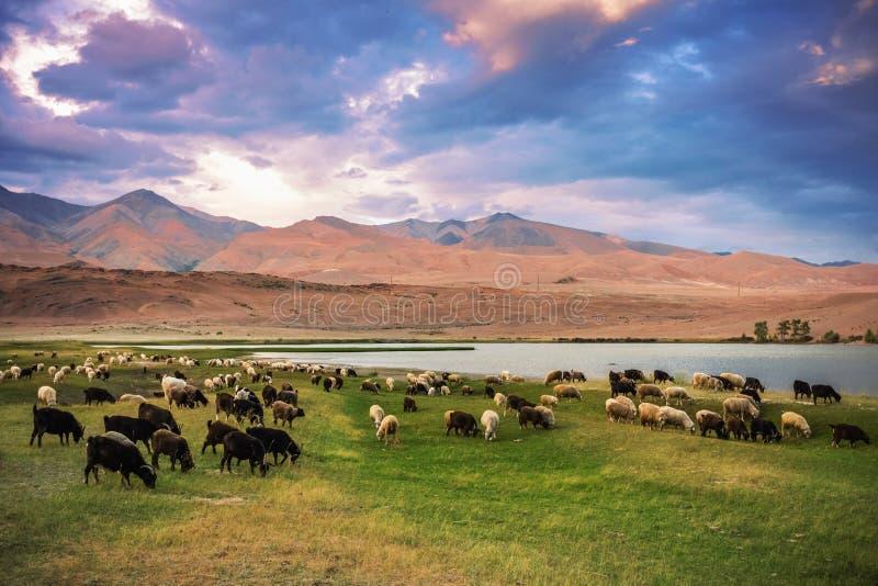 Un troupeau de moutons et de chèvres frôlant près du lac au pied de t photo libre de droits