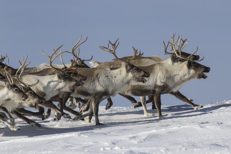 Un troupeau de renne qui fonctionne l'hiver ensoleillé de toundra couverte de neige photos stock