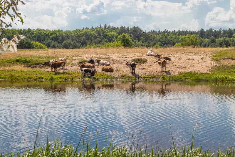 Un troupeau de vaches à l'arrosage éteint la soif avec de l'eau et les repos à midi image stock