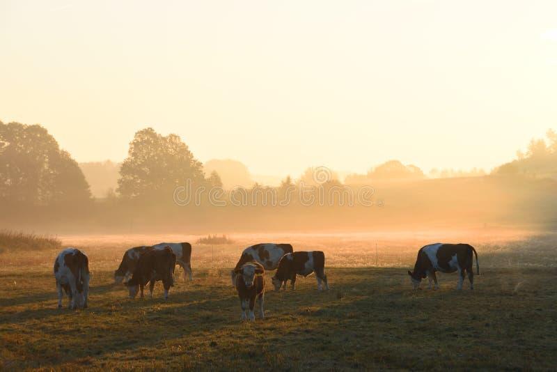 Un troupeau de vaches photographie stock libre de droits