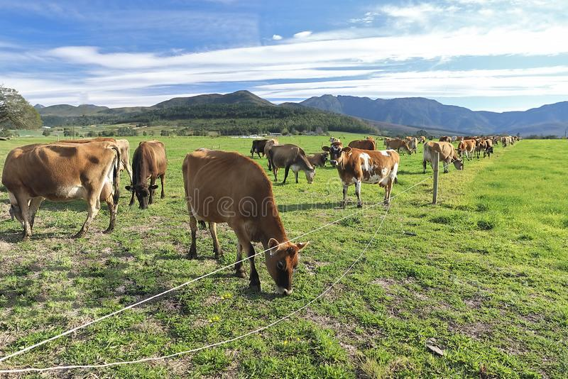 Un troupeau de vaches apprécient l'herbe verte de kikuju images libres de droits