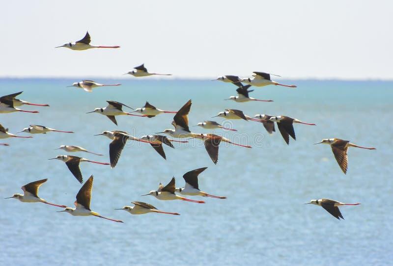 Un troupeau des échasses pies ou Noir-à ailes image stock