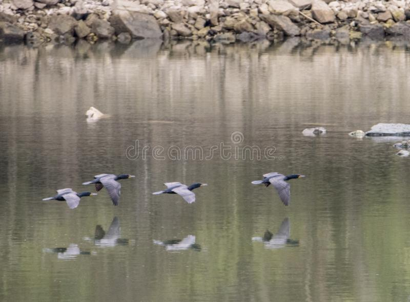Un troupeau des Anhingas volent au-dessus de l'eau montrant des réflexions photos libres de droits