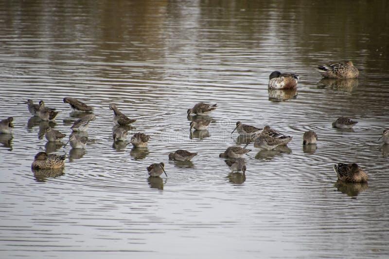Un troupeau des bécasseaux se tenant en eau peu profonde photo libre de droits