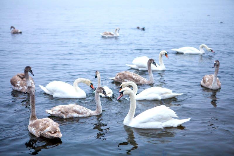 un troupeau des bains de cygnes sur la rivière en parc de ville photos libres de droits