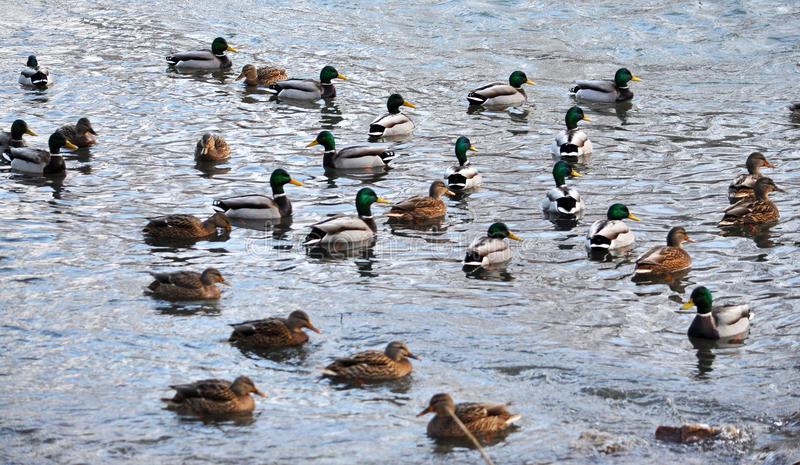 Un troupeau des canards sauvages photo stock