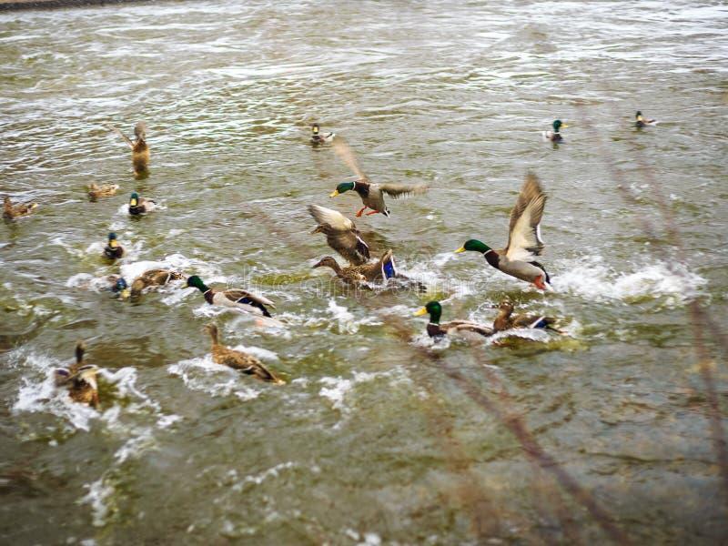 Un troupeau des canards sur une ville s'accumulent photographie stock