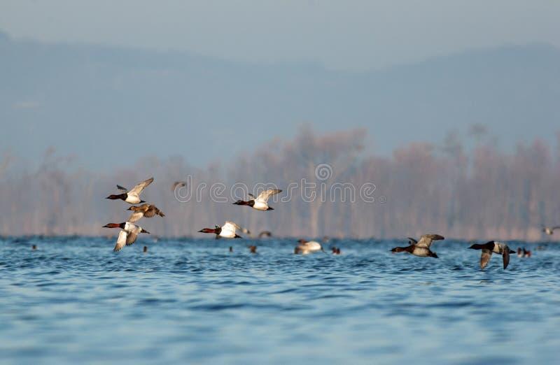 Un troupeau des Canvasbacks vole bas au-dessus du Mississippi supérieur avec les terres de bluff à l'arrière-plan photographie stock libre de droits