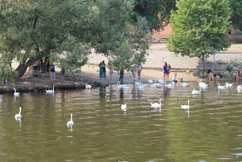 Un troupeau des cygnes blancs sur la rivière de Vltava dans la République Tchèque de Prague images stock