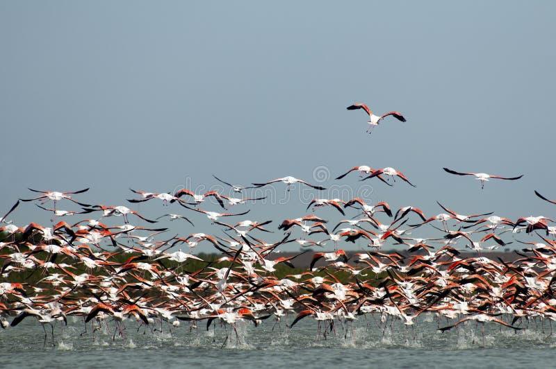 Un troupeau des flamants, en vol. photo libre de droits