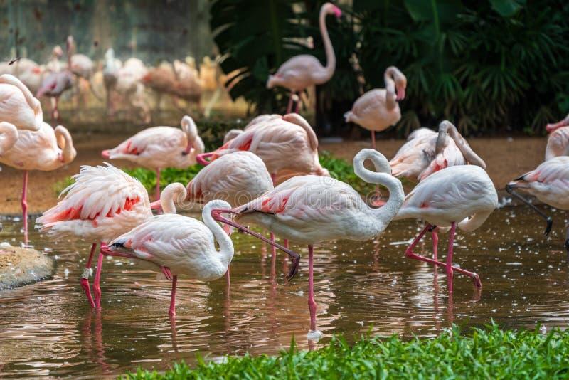 Un troupeau des flamants roses en parc national d'Aves, Brésil images libres de droits