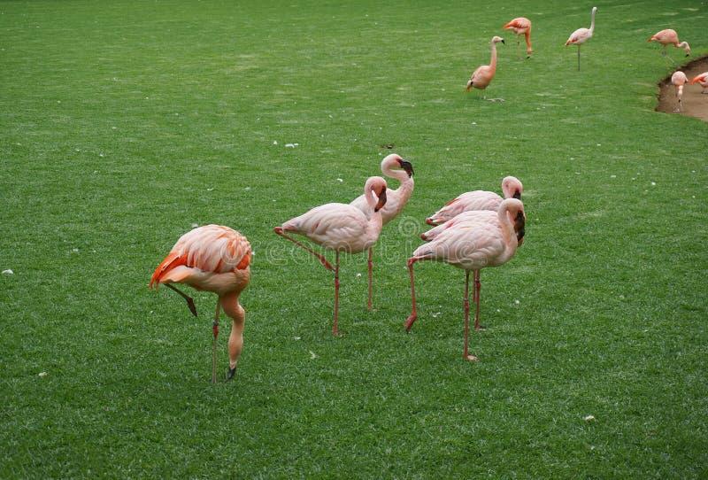 Un troupeau des flamants roses et bagués se tient sur une pelouse verte photographie stock