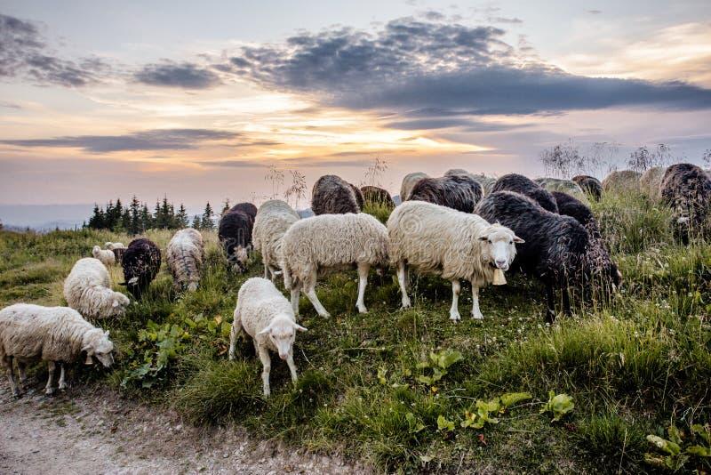 Un troupeau des moutons au coucher du soleil image stock