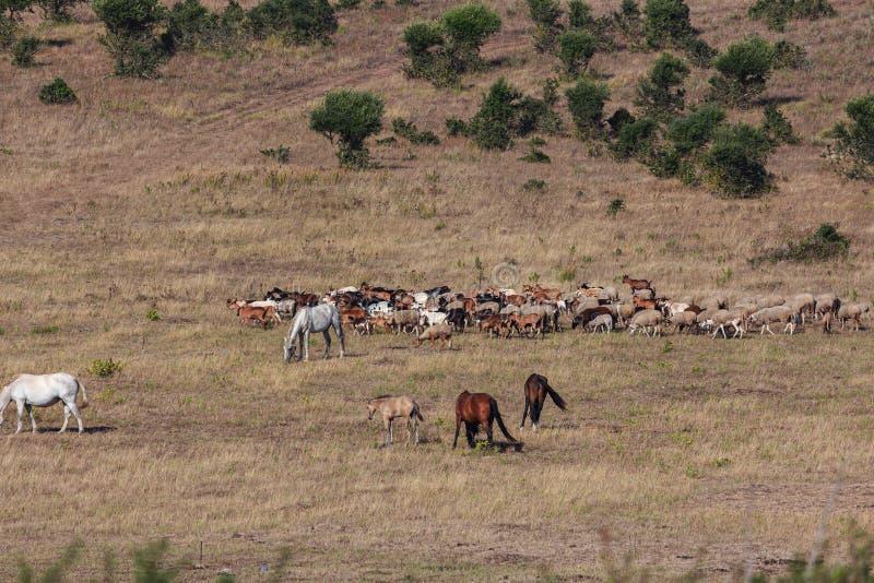Un troupeau des moutons et des chèvres photographie stock