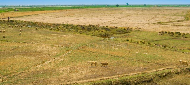 Un troupeau des moutons frôlant dans l'ameadow du Pendjab, Pakistan photo stock