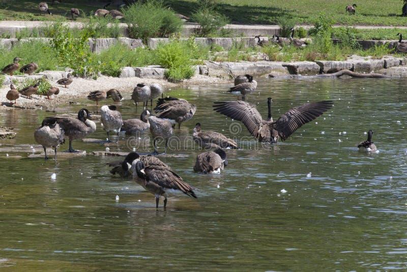 Un troupeau des oies lissantes images stock
