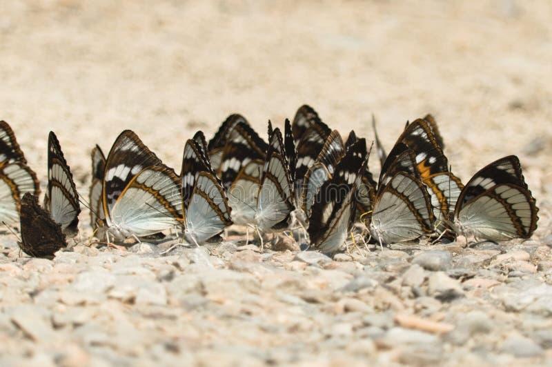 Un troupeau des papillons se reposant au sol photo libre de droits