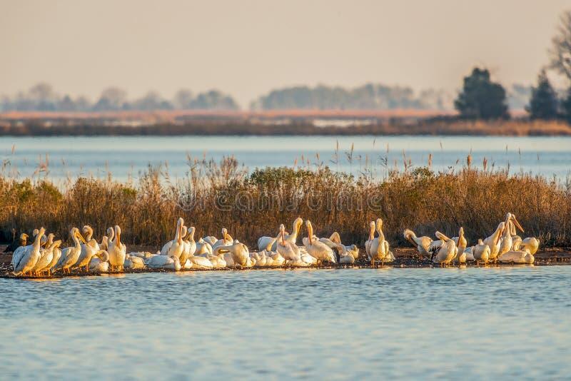 Un troupeau des repos américains de pélicans blancs pendant la migration avec un aigle chauve dans la réserve nationale de Blackw photographie stock