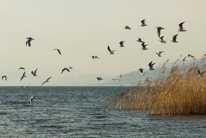 Un troupeau des sternes du ` s de Forster au-dessus de lac Iznik images stock