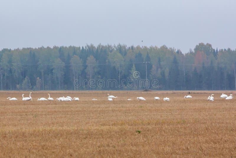 Un troupeau du cygnus de Cygnus - cygne de Whooper sur un champ au fond de forêt Les oiseaux disposent à émigrer des sud Octobre  photo stock