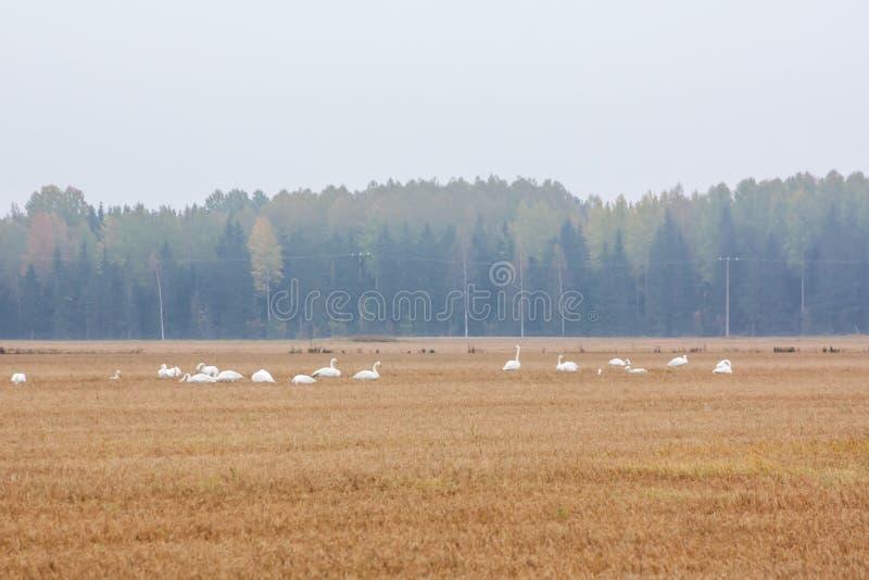 Un troupeau du cygnus de Cygnus - cygne de Whooper sur un champ au fond de forêt Les oiseaux disposent à émigrer des sud Octobre  photos libres de droits