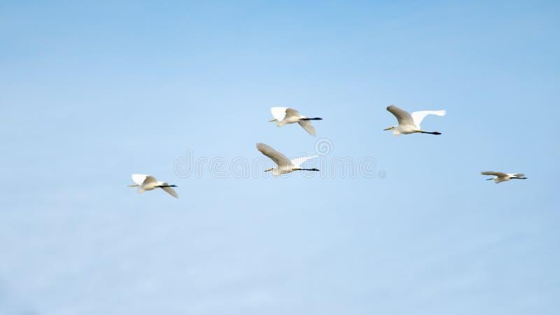 Un troupeau du grand vol de héron avec le ciel bleu images stock