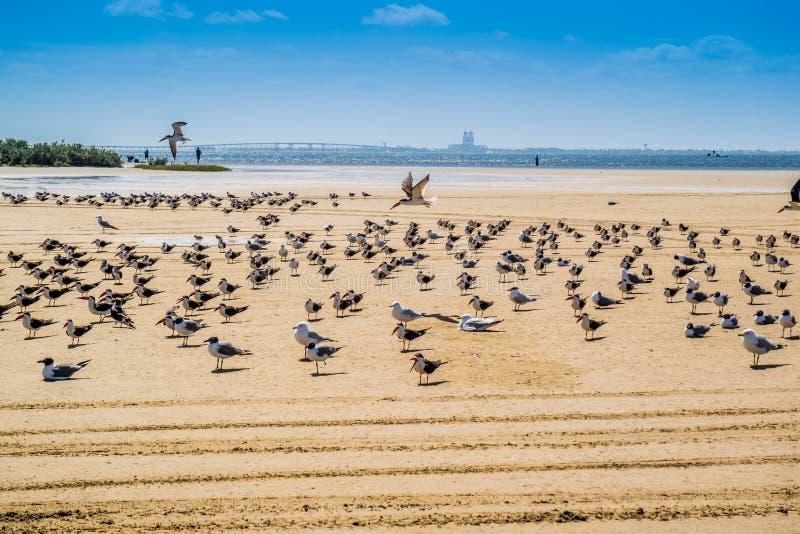 Un troupeau du vol noir d'écumoires autour en île du sud d'aumônier, le Texas photo libre de droits