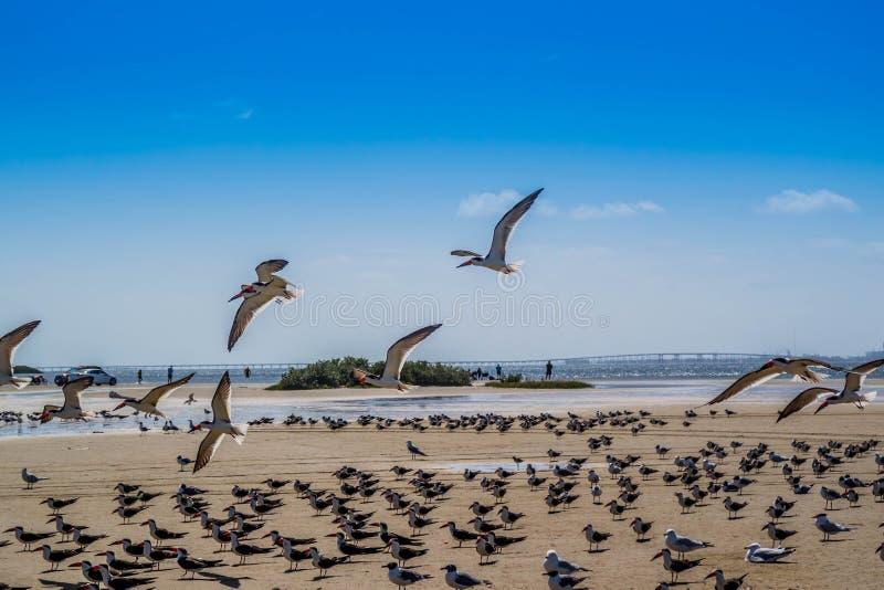 Un troupeau du vol noir d'écumoires autour en île du sud d'aumônier, le Texas image stock