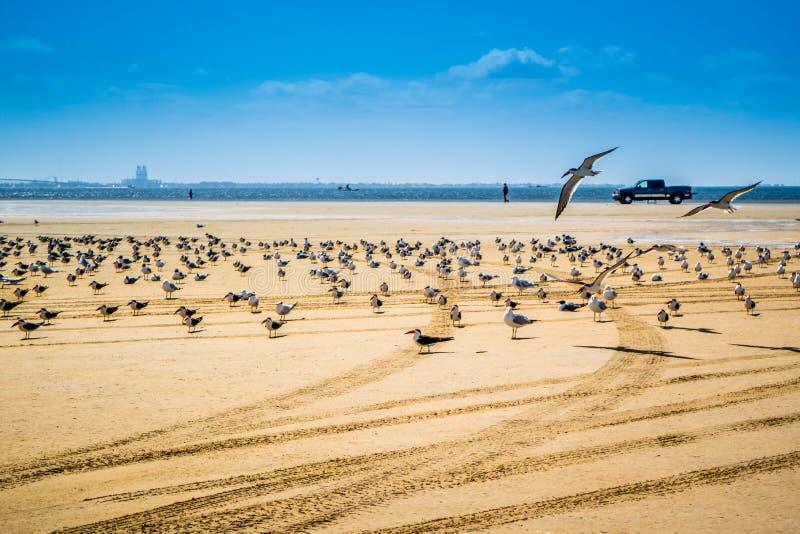 Un troupeau du vol noir d'écumoires autour en île du sud d'aumônier, le Texas photographie stock