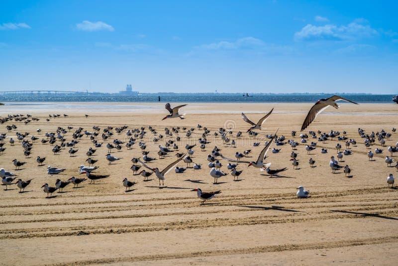 Un troupeau du vol noir d'écumoires autour en île du sud d'aumônier, le Texas images libres de droits