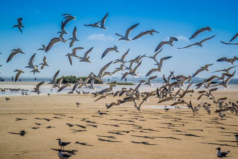 Un troupeau du vol noir d'écumoires autour en île du sud d'aumônier, le Texas images stock