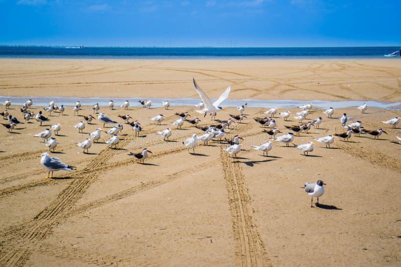 Un troupeau du vol noir d'écumoires autour en île du sud d'aumônier, le Texas image libre de droits