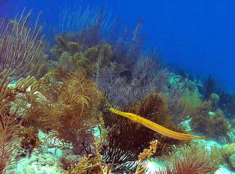 Un Trumpetfish amarillo brillante nada el filón imagen de archivo