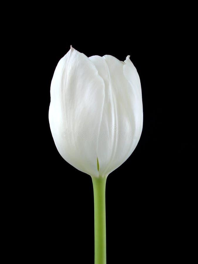 Un Tuilip bianco sul nero immagini stock libere da diritti
