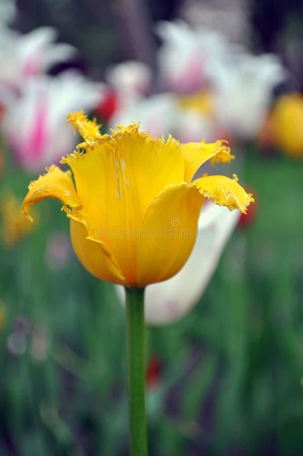 Un tulipán amarillo imagen de archivo