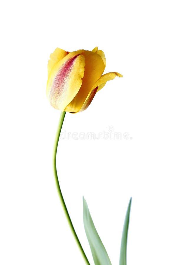 Un tulipán amarillo aislado imagenes de archivo