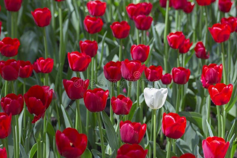 Un tulip?n blanco en una variedad de tulipanes rojos El concepto sea especial, se destaca de la muchedumbre que le notar?n, ser d foto de archivo libre de regalías