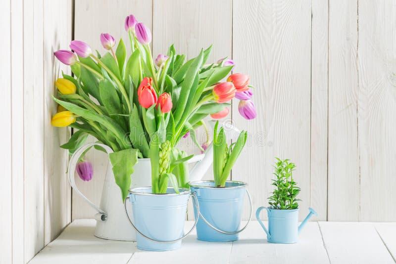 Un tulipán joven y fresco imágenes de archivo libres de regalías