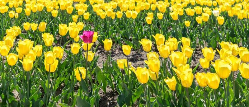 Un tulipán rosado en un campo de tulipanes amarillos fotografía de archivo