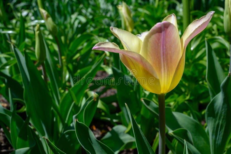 Un tulipán rosado solo que florece en el sol de la primavera imagenes de archivo