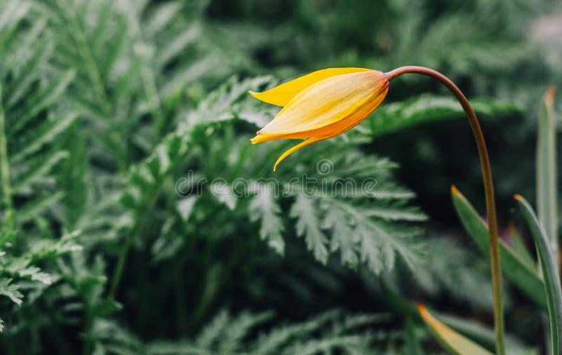 Un tulipán salvaje amarillo contra fondo verde vivo fotos de archivo libres de regalías