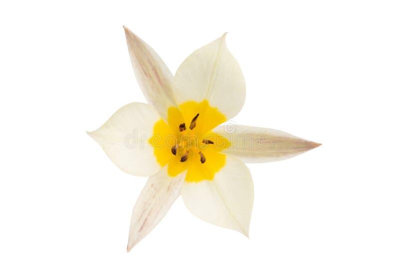Un tulipano di due colori ha isolato fotografie stock libere da diritti