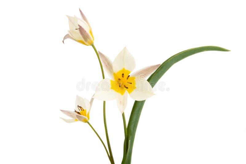 Un tulipano di due colori ha isolato fotografia stock