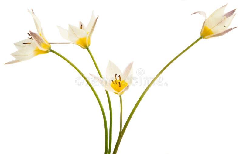 Un tulipano di due colori ha isolato immagine stock