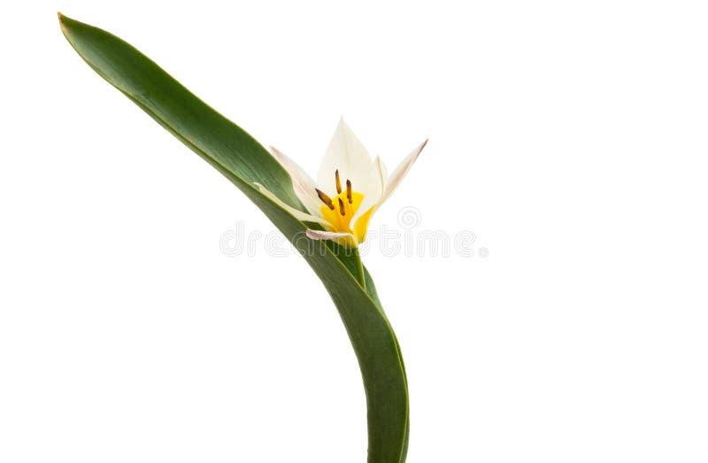 Un tulipano di due colori ha isolato immagini stock libere da diritti