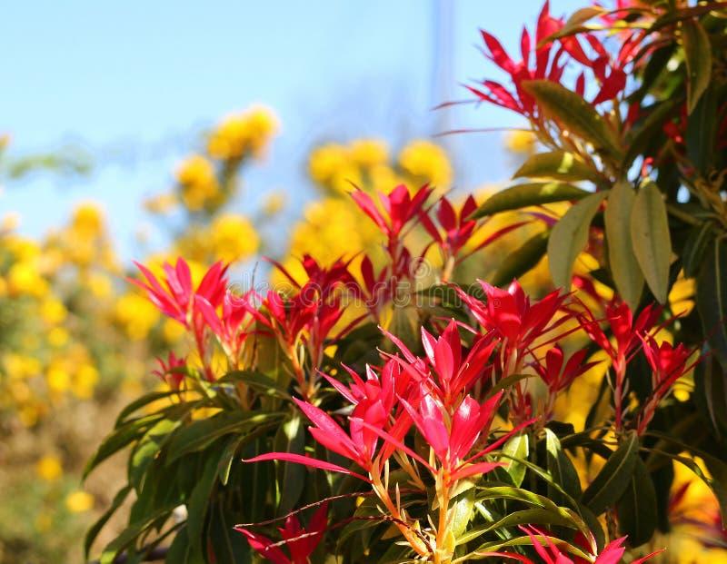 Un tumulto di colore, fiamma rossa della foresta contro il ginestrone giallo fotografia stock