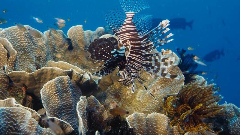 Un turkeyfish rosso solo di Firefish, caccia violationswhile sopra una barriera corallina tropicale, Papuasia Niugini, Indonesia  fotografie stock libere da diritti