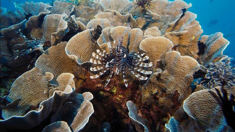 Un turkeyfish rouge solitaire de Firefish, chasse violationswhile de Pterois de poissons de lion au-dessus d'un récif coralien tr photos libres de droits